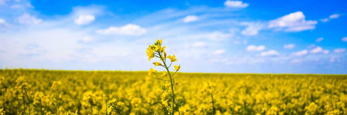 « C'est la plus petite de toutes les semences, mais quand elle grandit, elle dépasse toutes les plantes potagères »